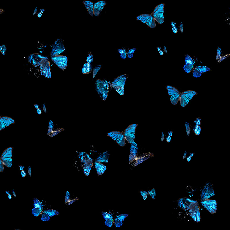 A studio designed Morpho Peleides & Amathonte Butterfly Wallpaper in a flock Silk finish with pearl ink layer
