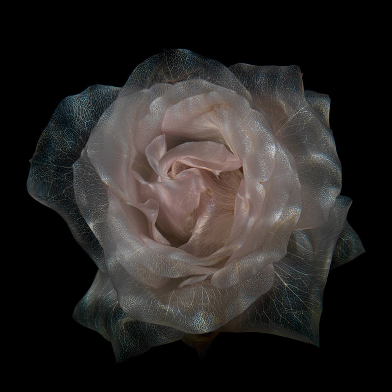 Underwater Flowers Are They Dead Or Alive, new photographic series of glass like sculptural flowers