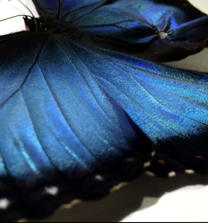 entomologist artist breeding in the studio environment hatching Morpho Peleides & Amathonto butterflies